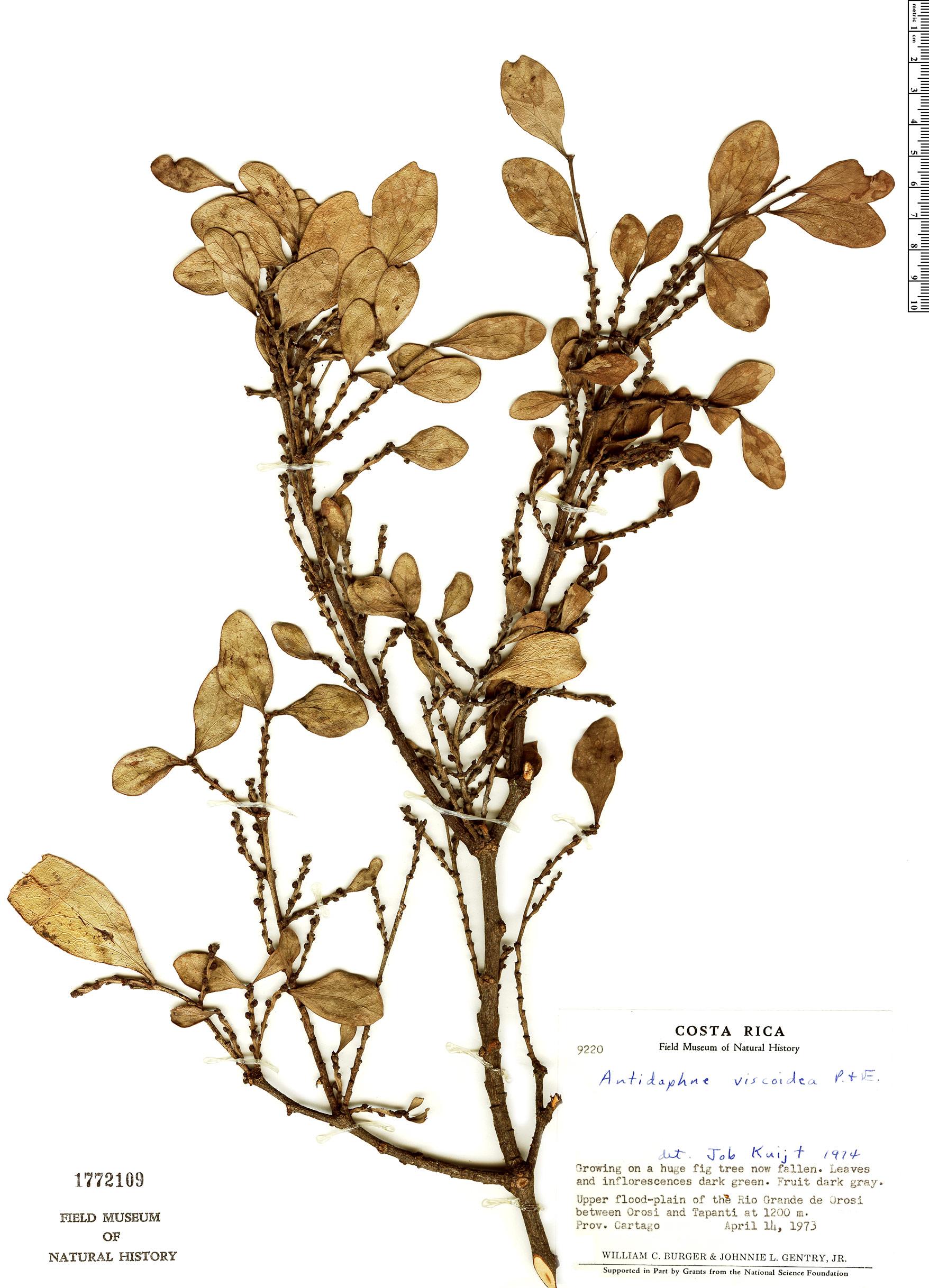 Specimen: Antidaphne viscoidea