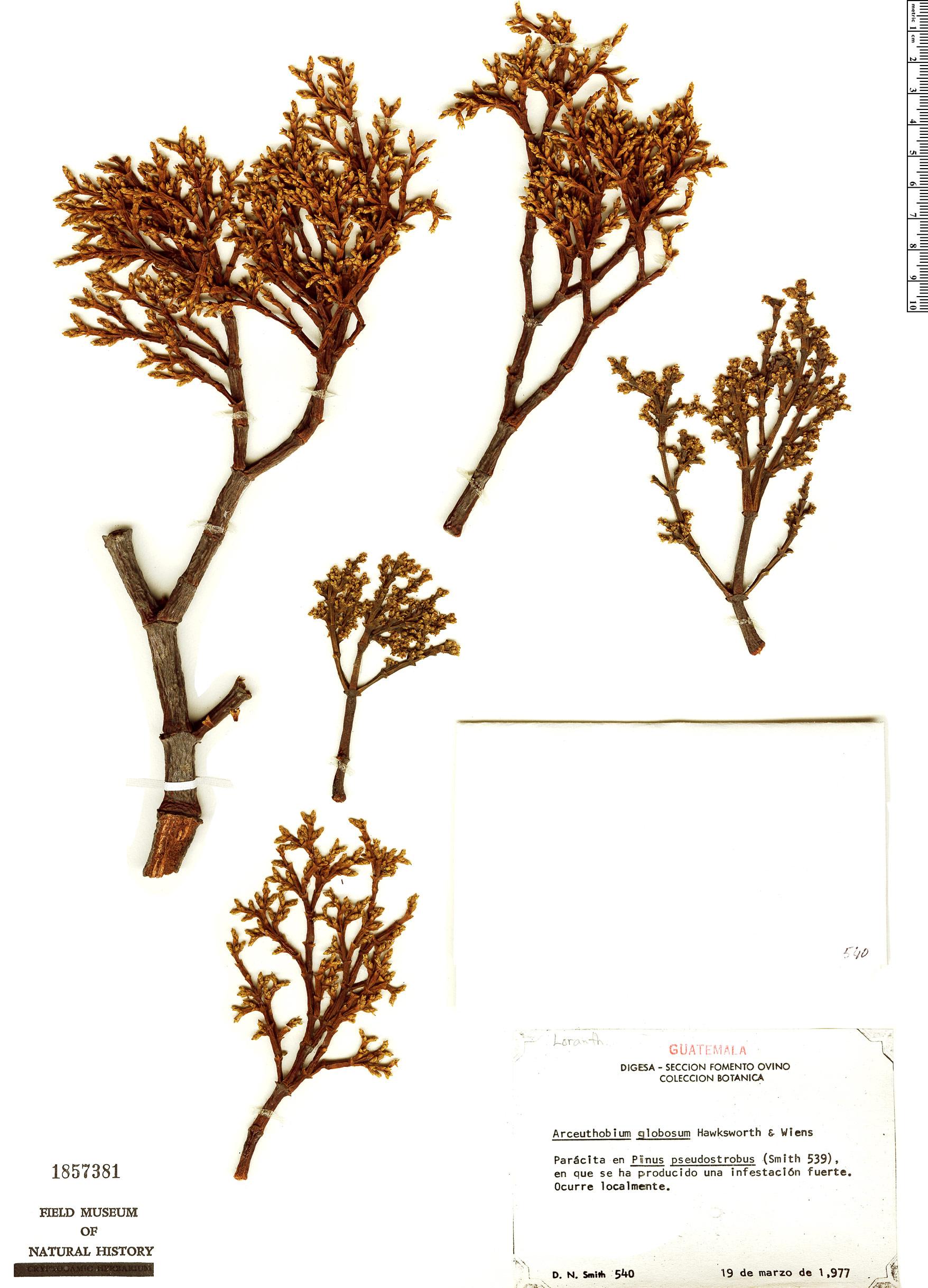 Specimen: Arceuthobium globosum