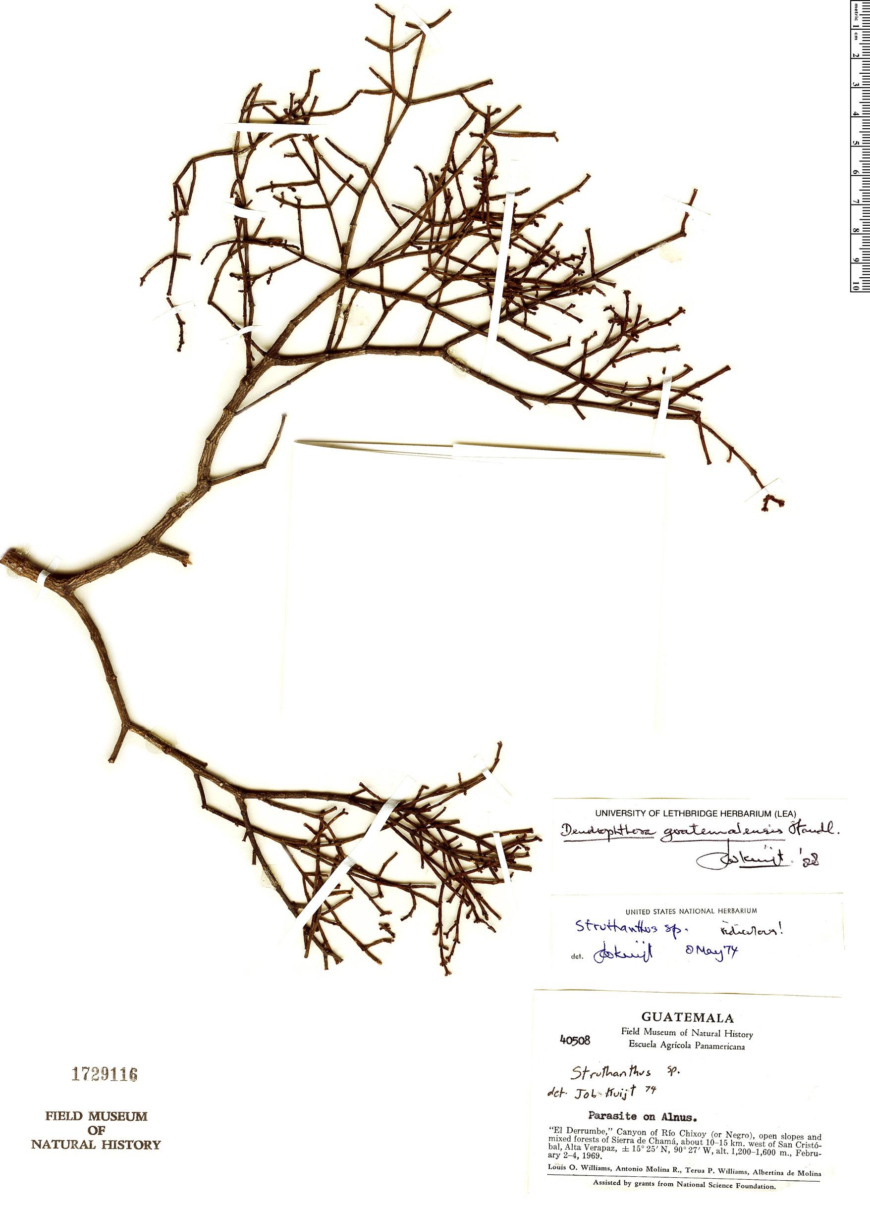 Specimen: Dendrophthora guatemalensis