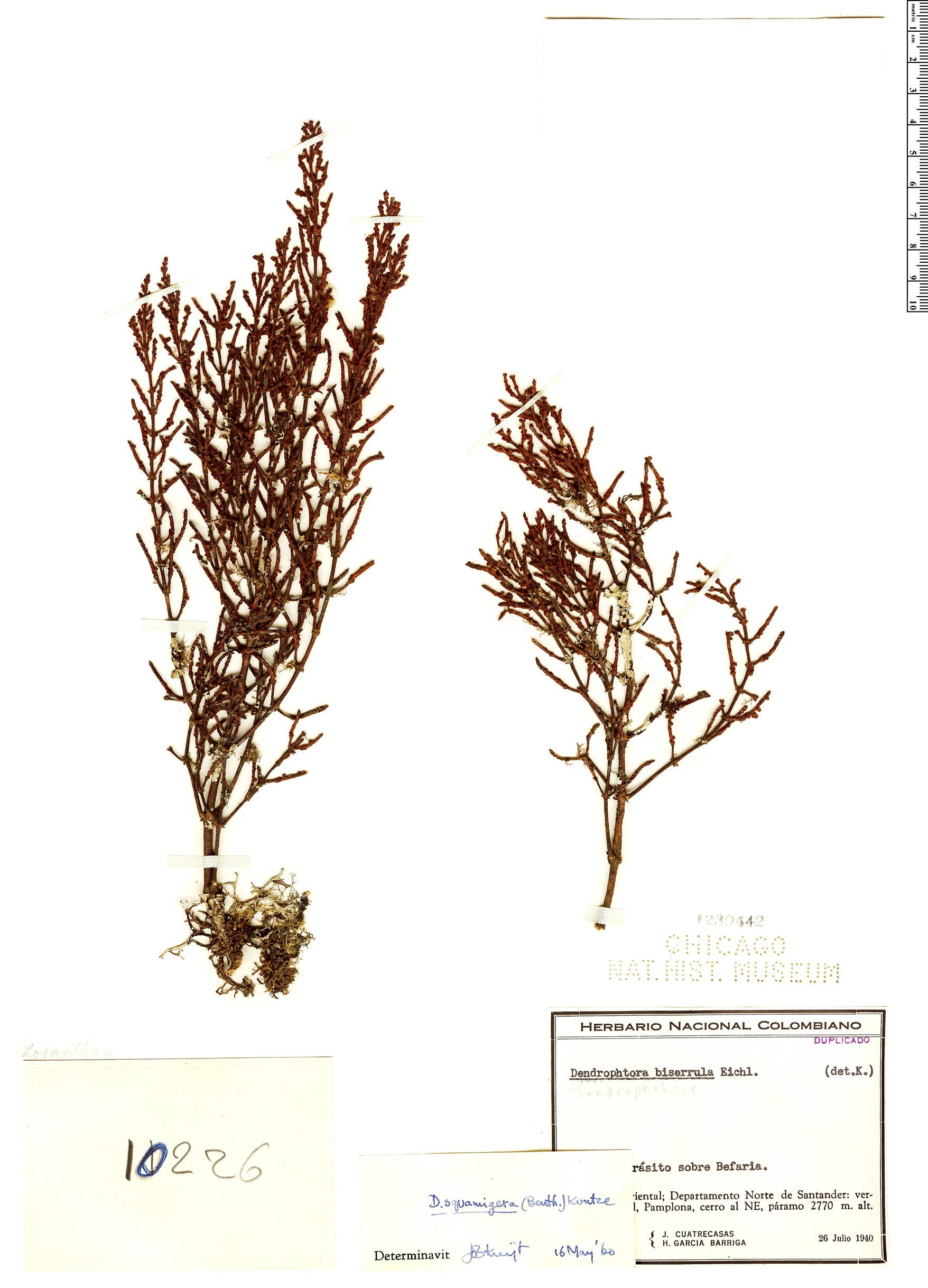 Specimen: Dendrophthora squamigera