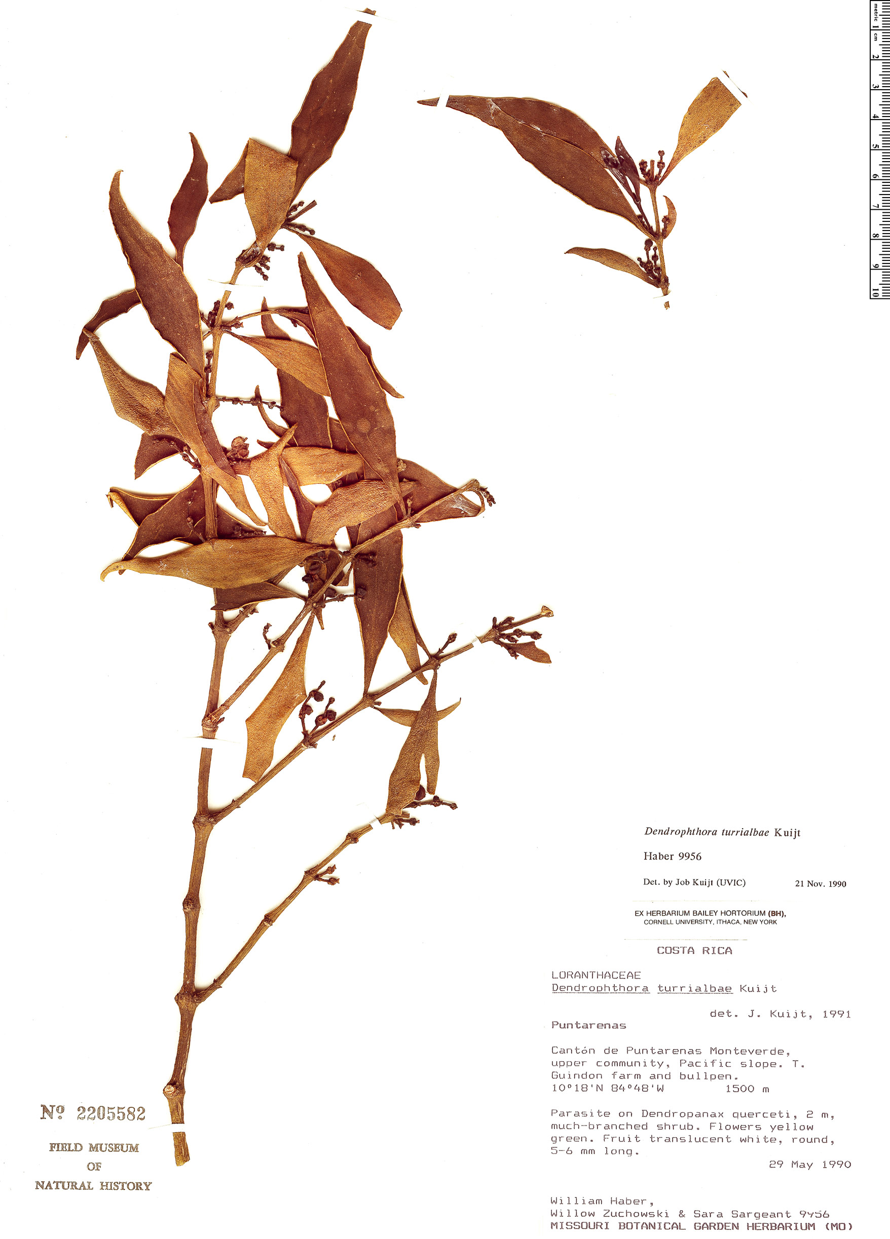 Specimen: Dendrophthora turrialbae