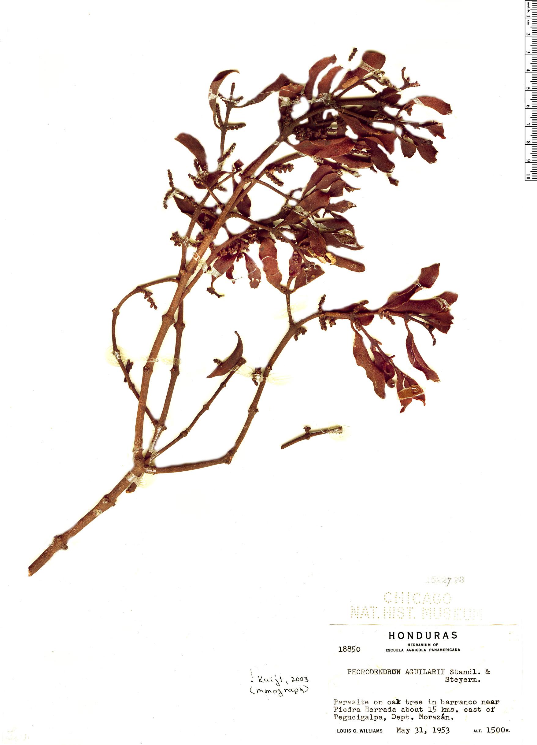 Specimen: Phoradendron aguilarii