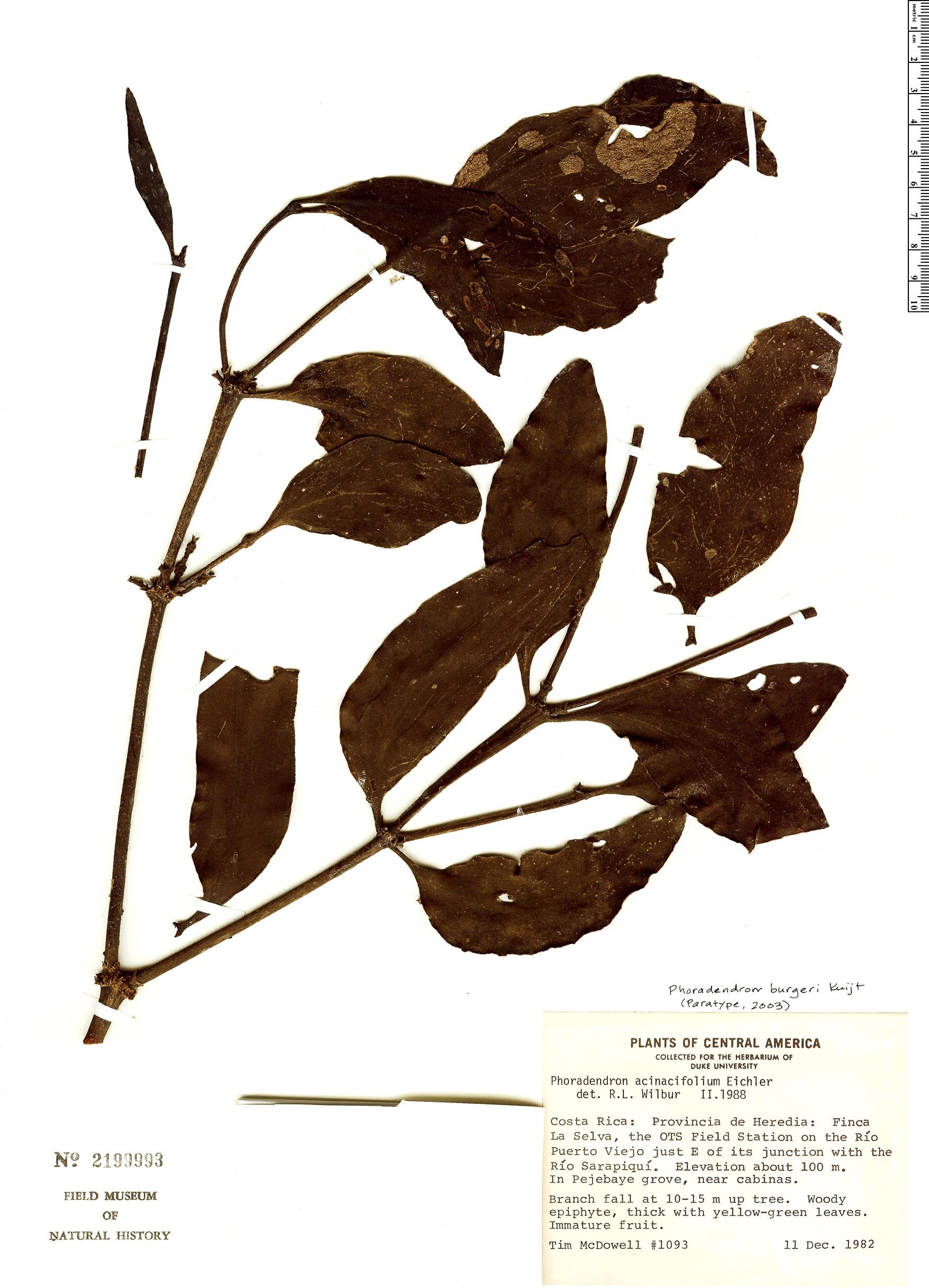 Specimen: Phoradendron burgeri