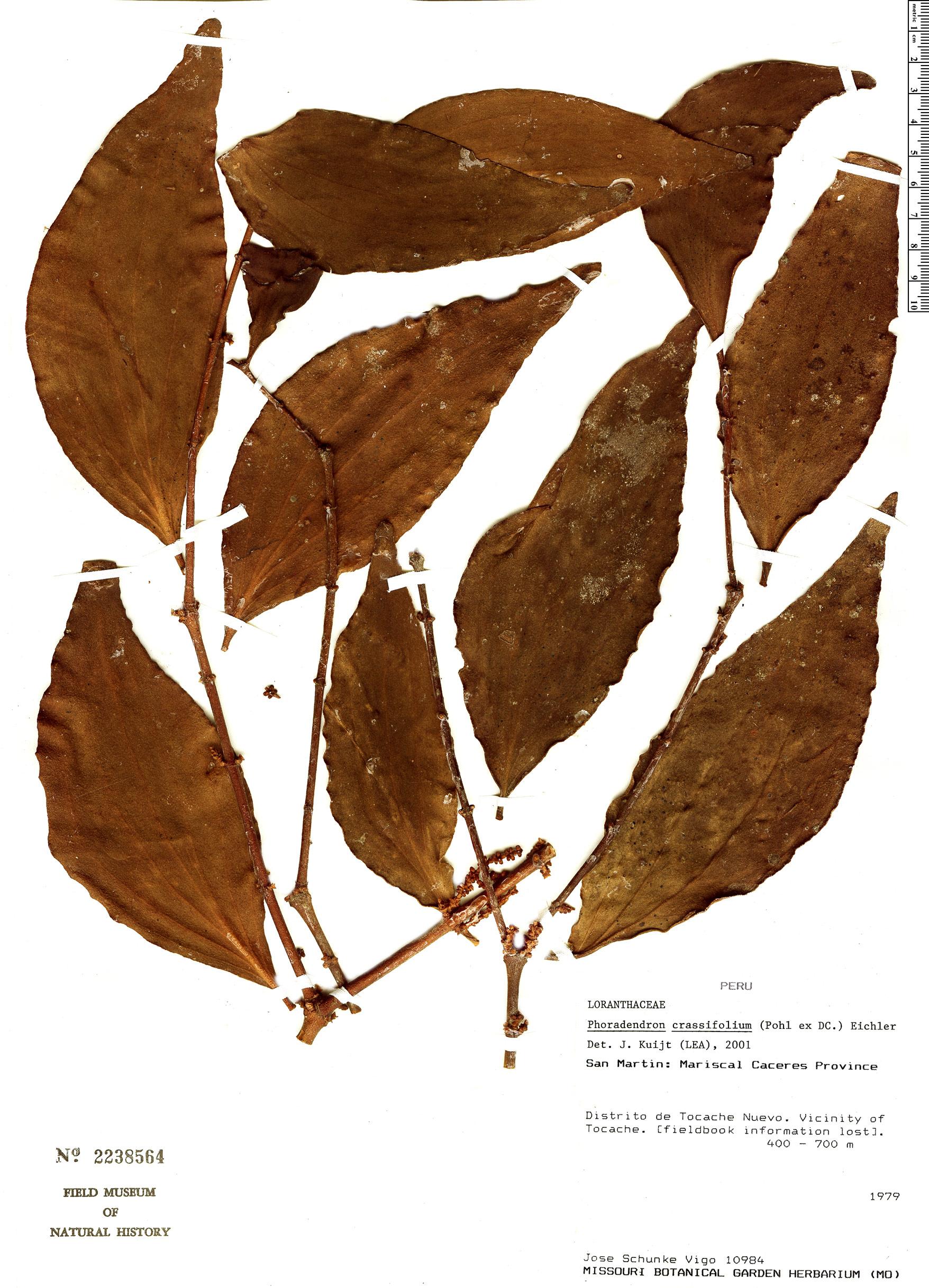 Specimen: Phoradendron crassifolium