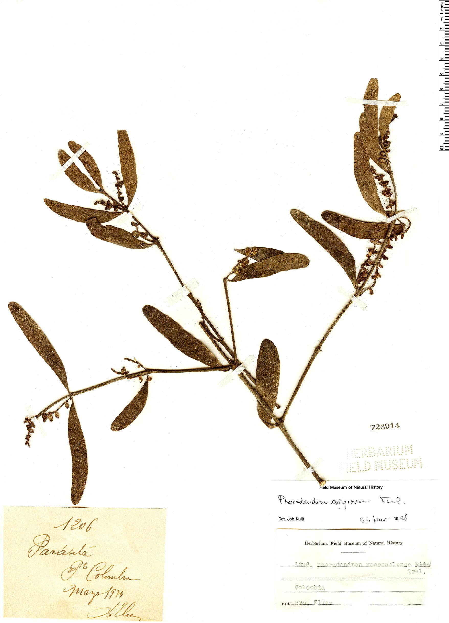 Specimen: Phoradendron quadrangulare