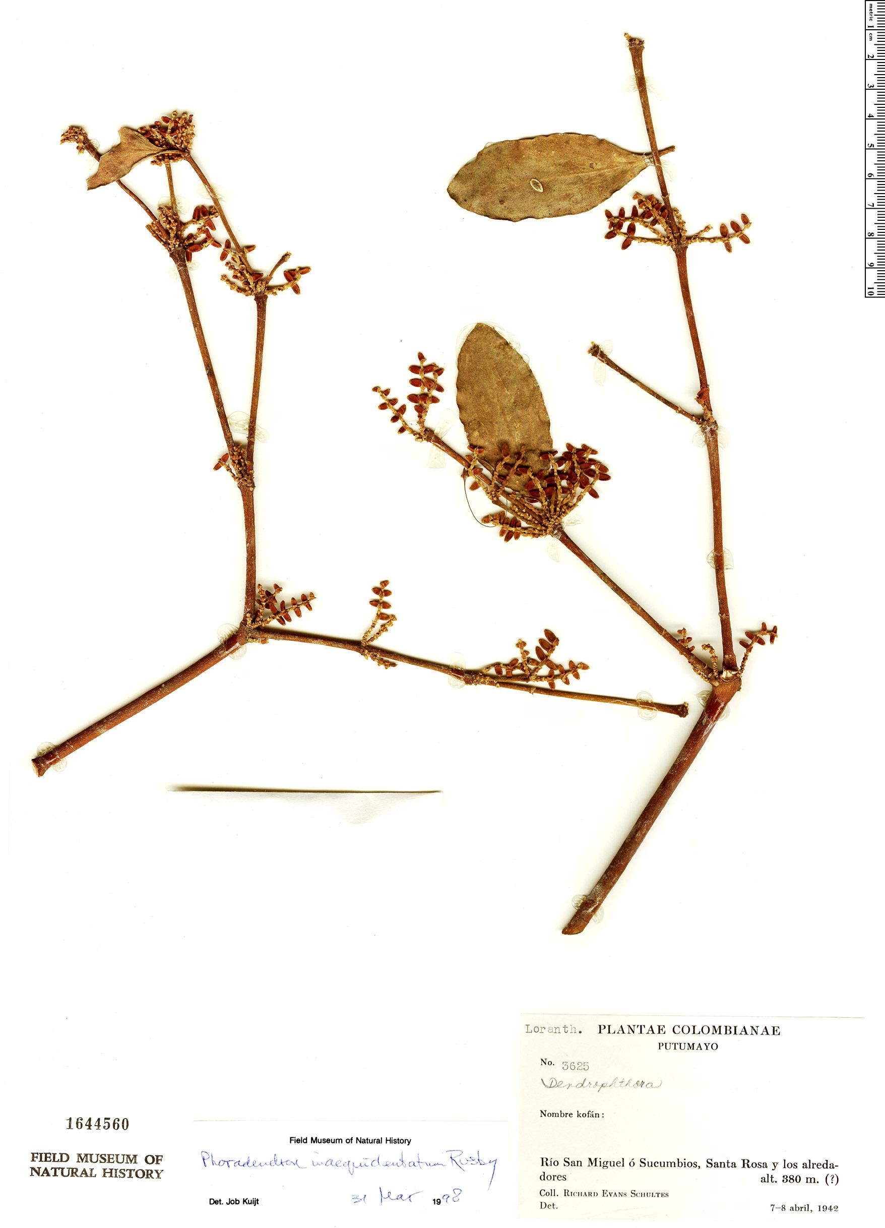 Specimen: Phoradendron inaequidentatum