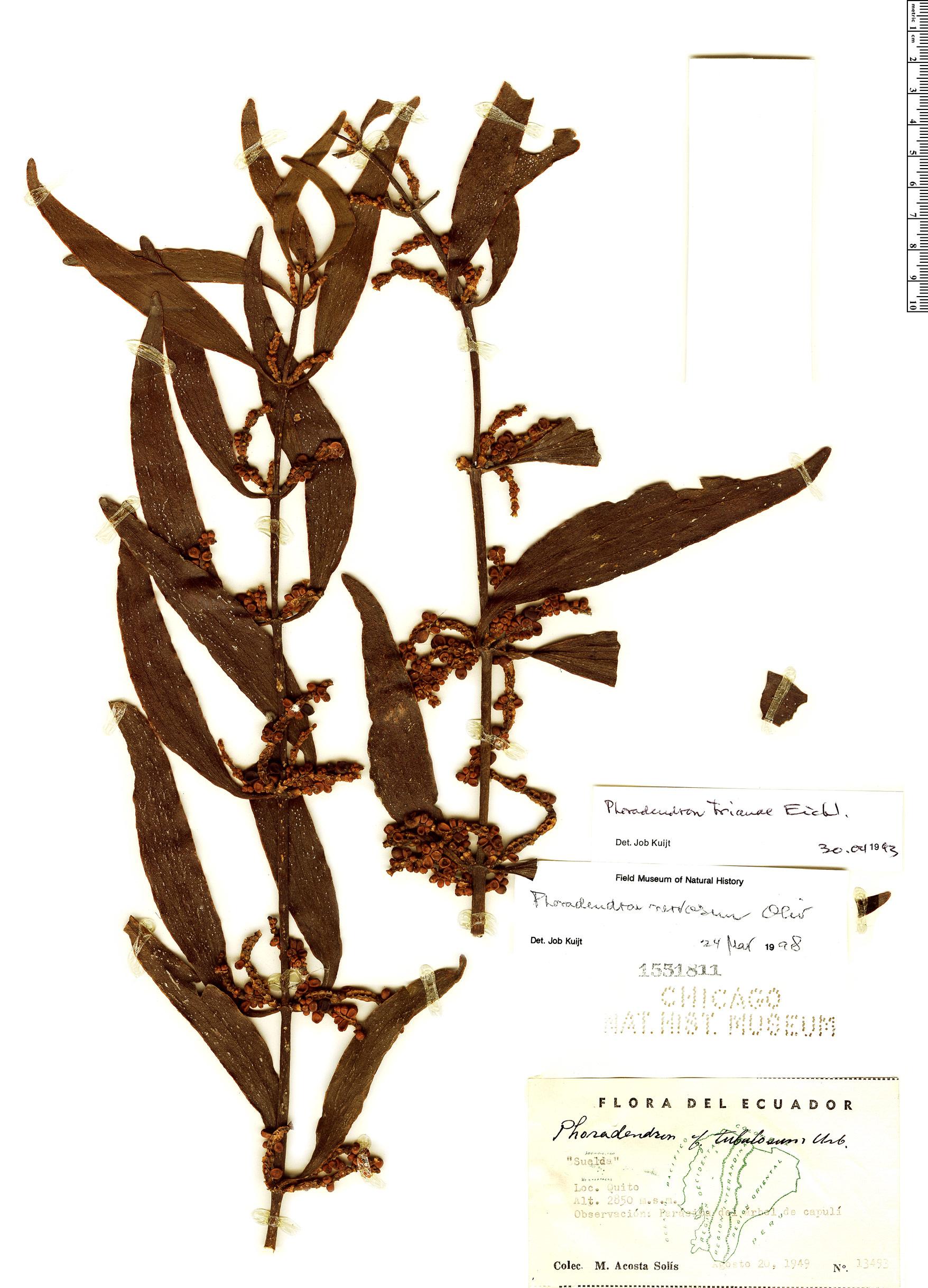 Specimen: Phoradendron nervosum