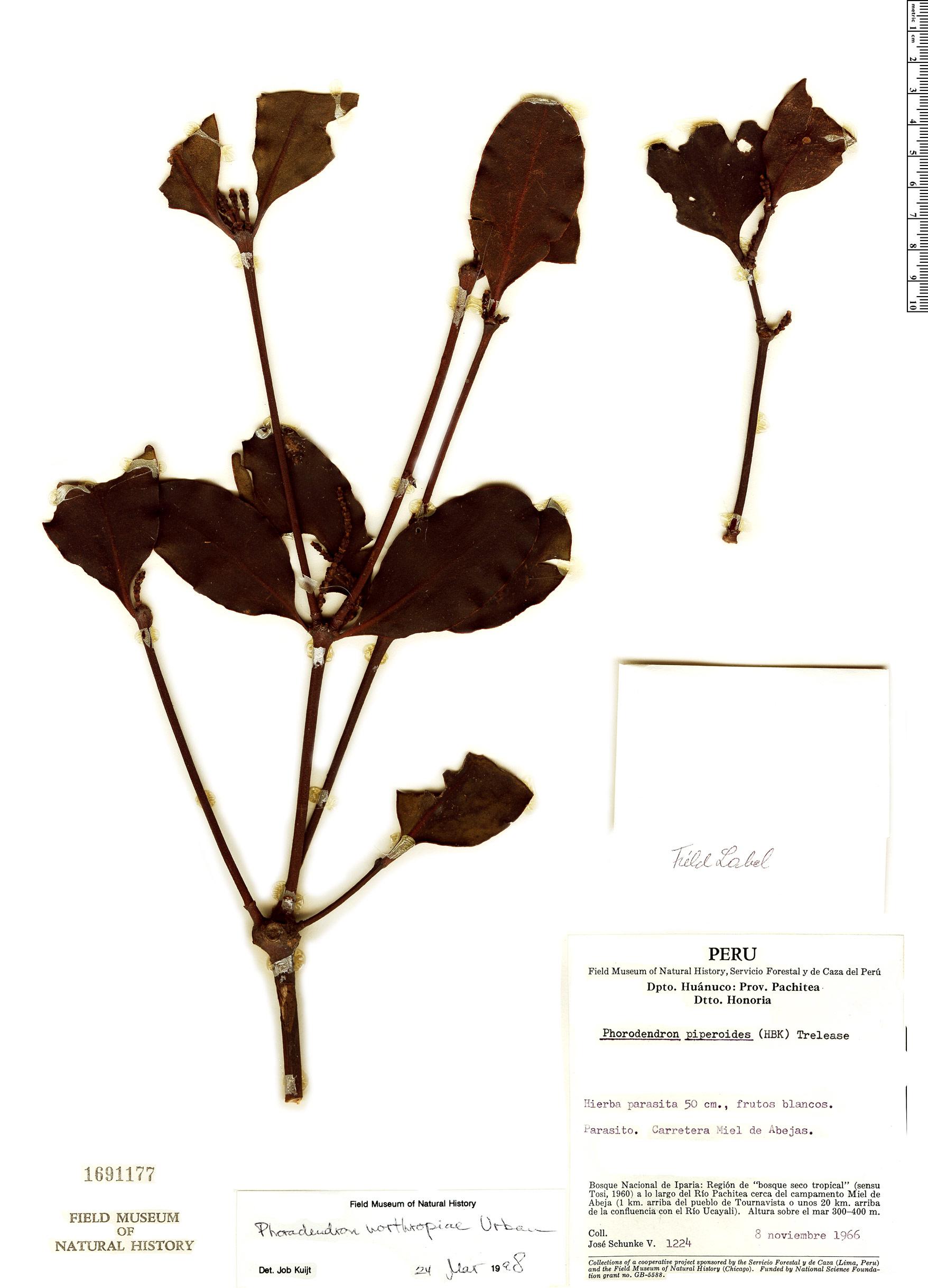 Espécime: Phoradendron northropiae
