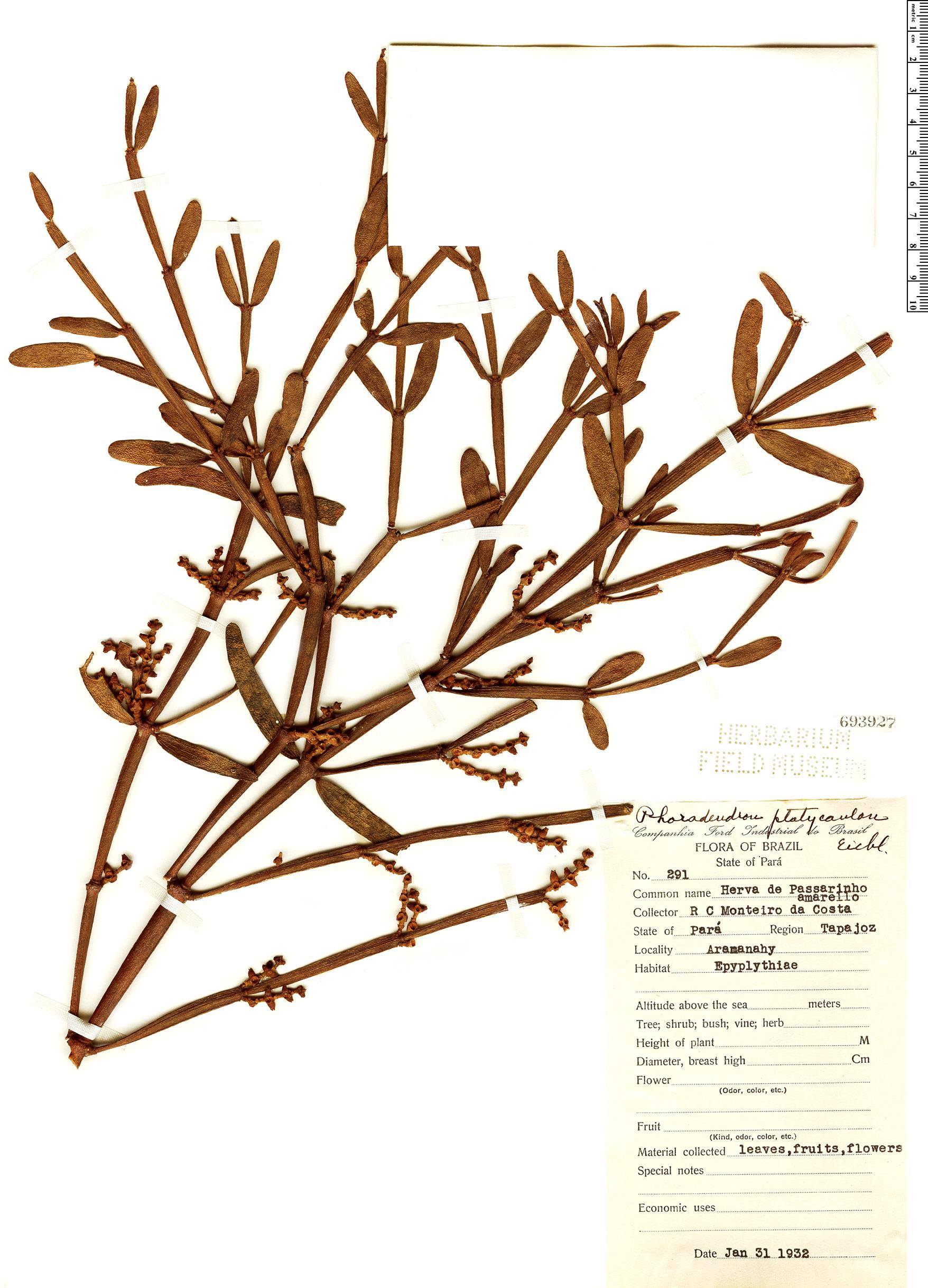 Specimen: Phoradendron platycaulon