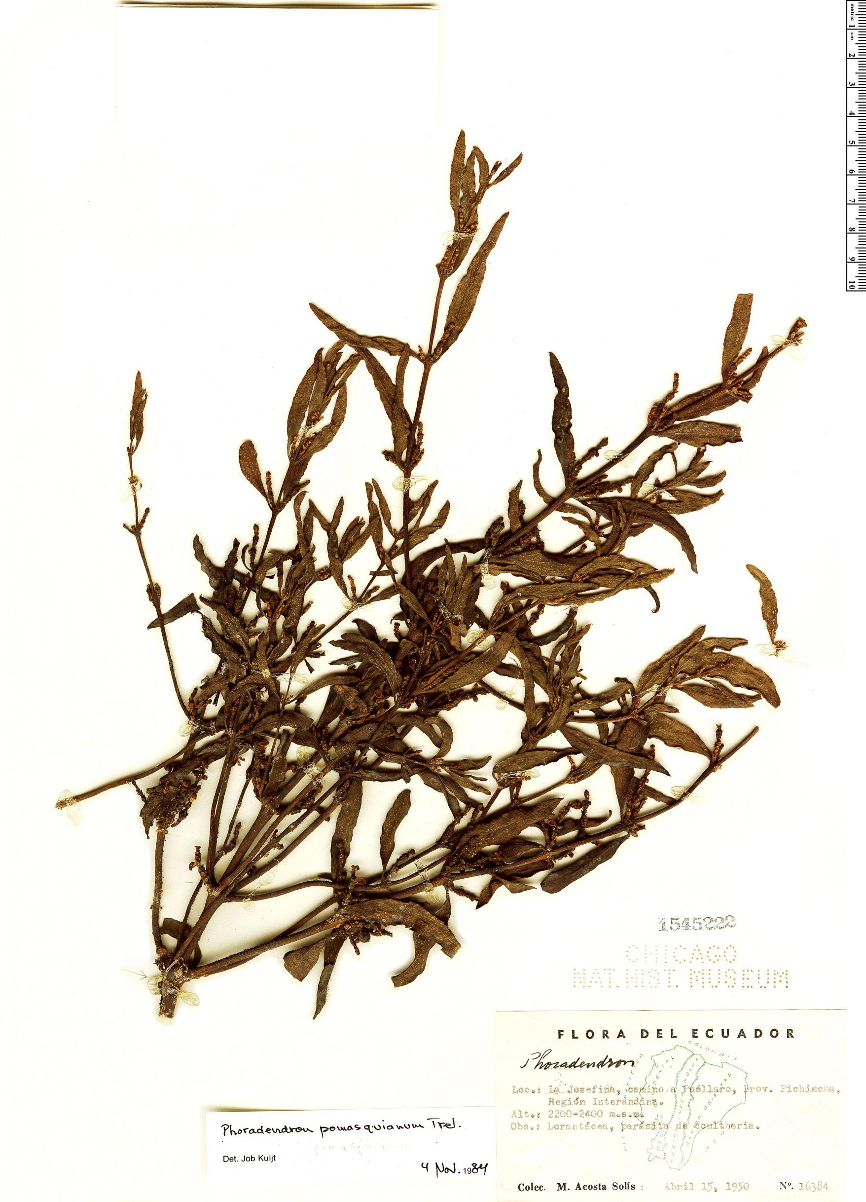Specimen: Phoradendron pomasquianum