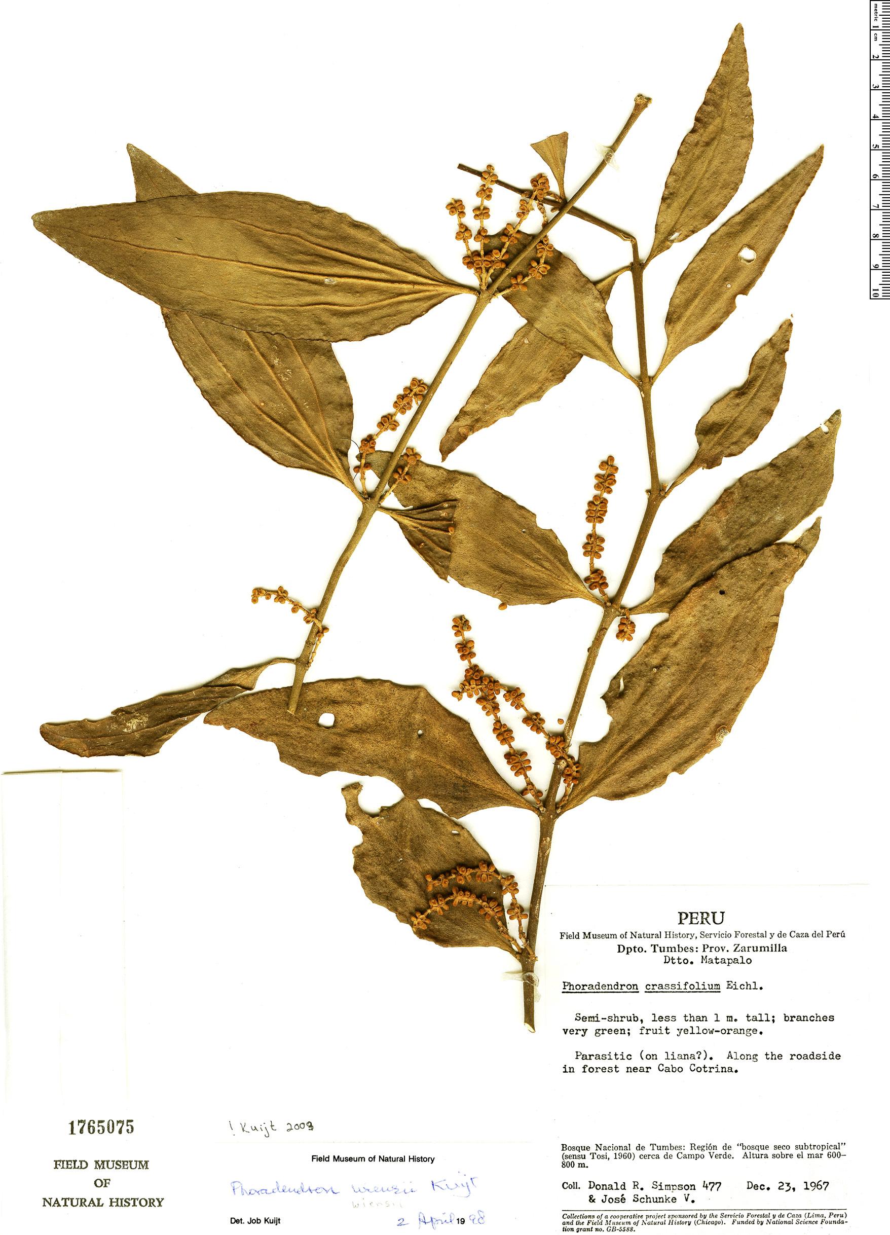 Specimen: Phoradendron wiensii
