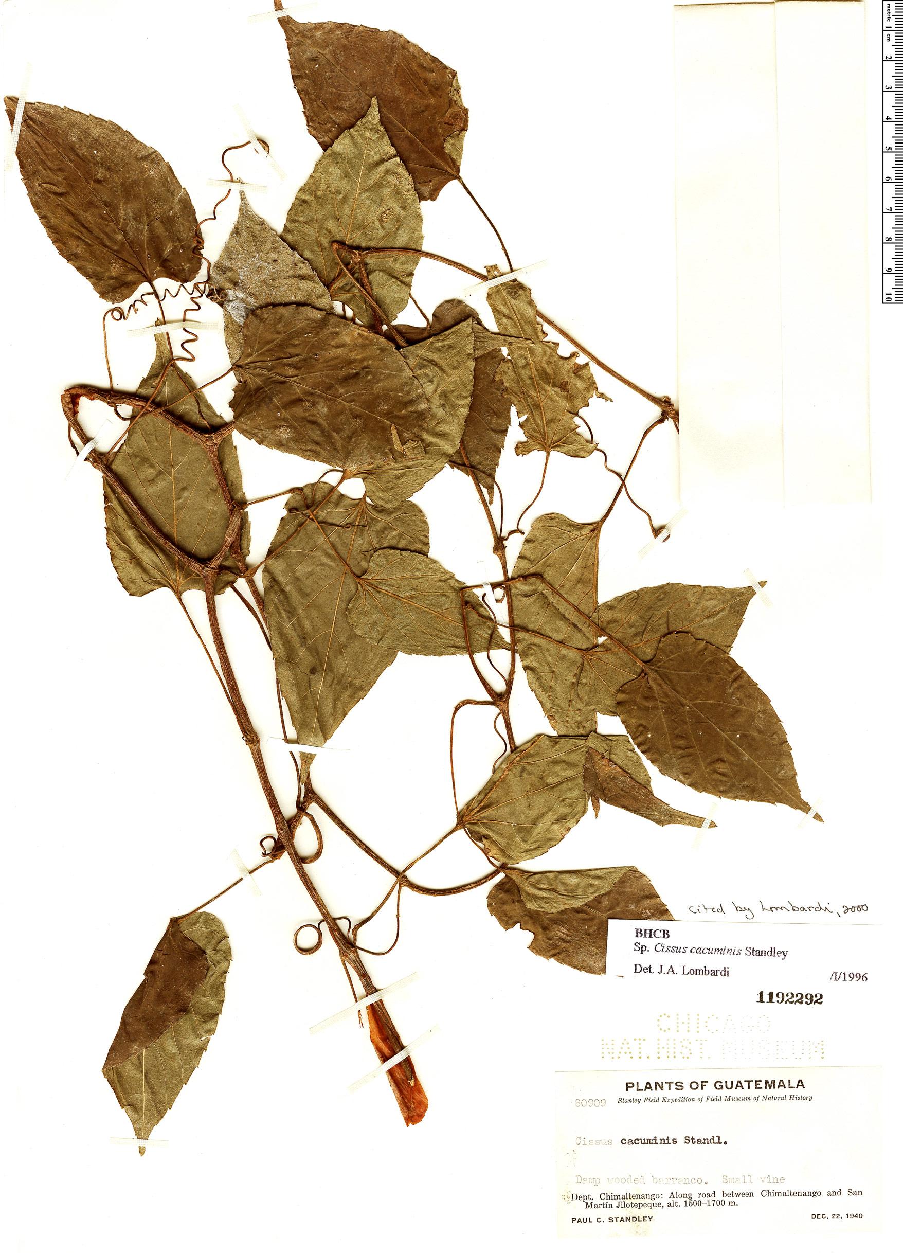 Espécimen: Cissus cacuminis