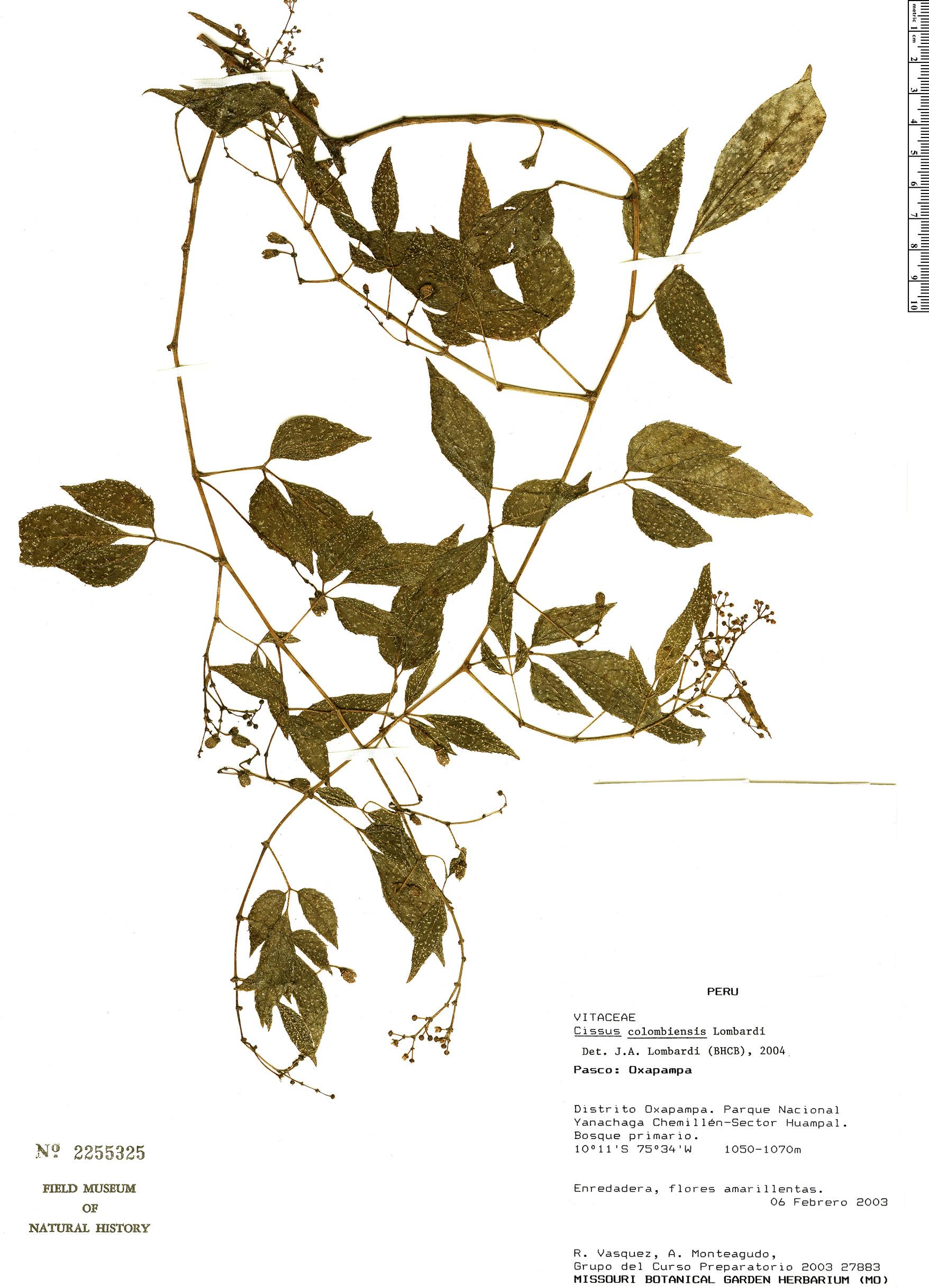 Espécime: Cissus colombiensis