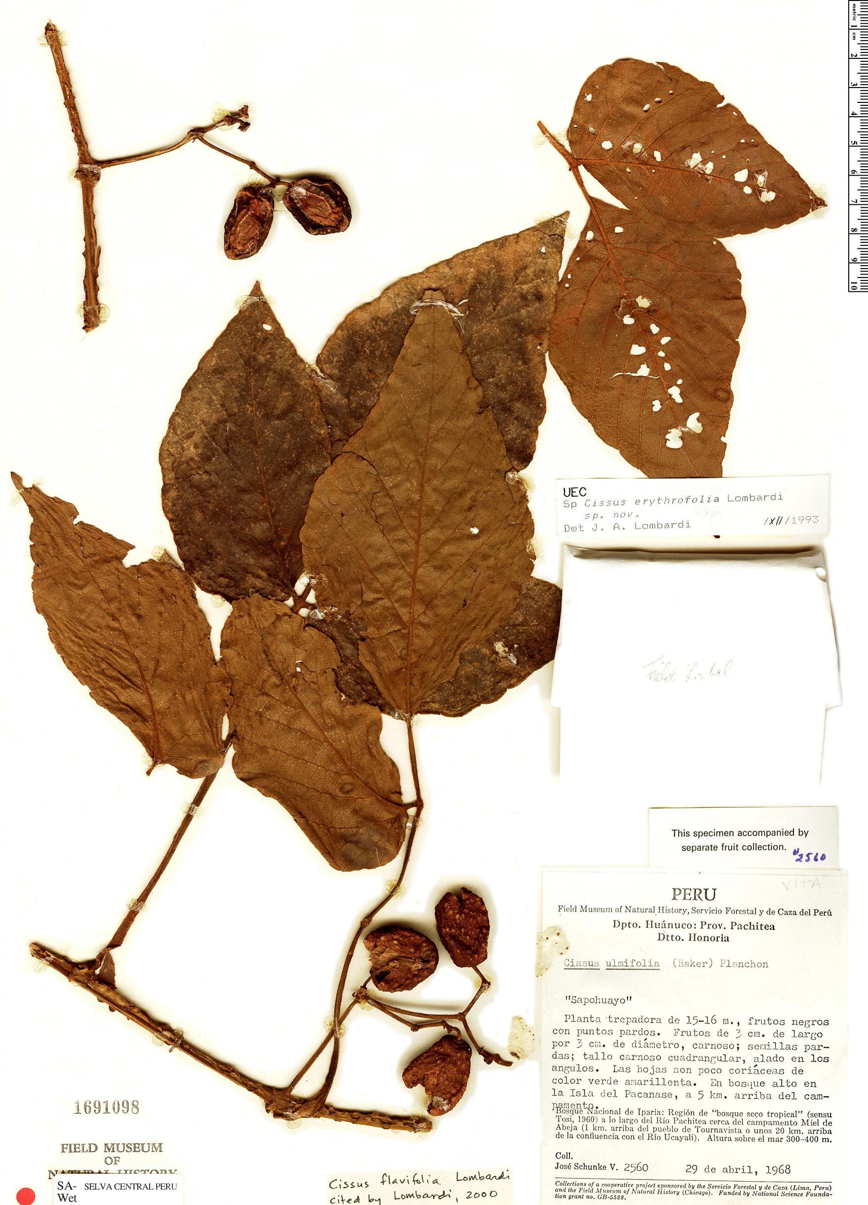 Specimen: Cissus flavifolia