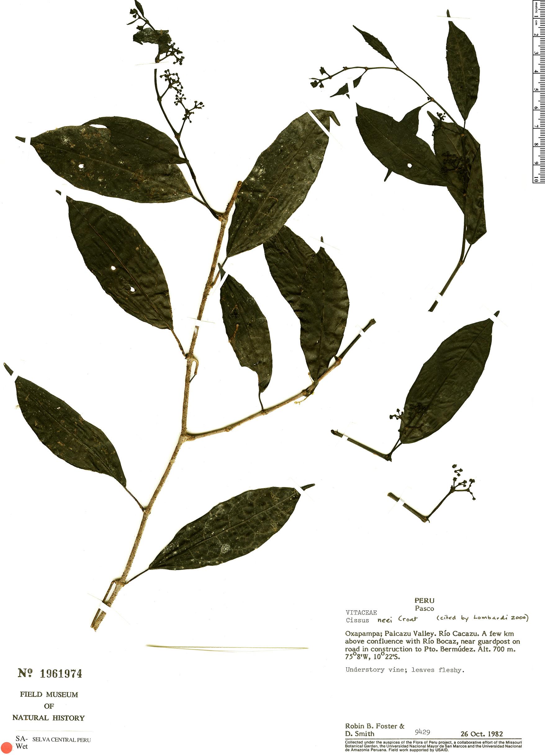 Specimen: Cissus neei