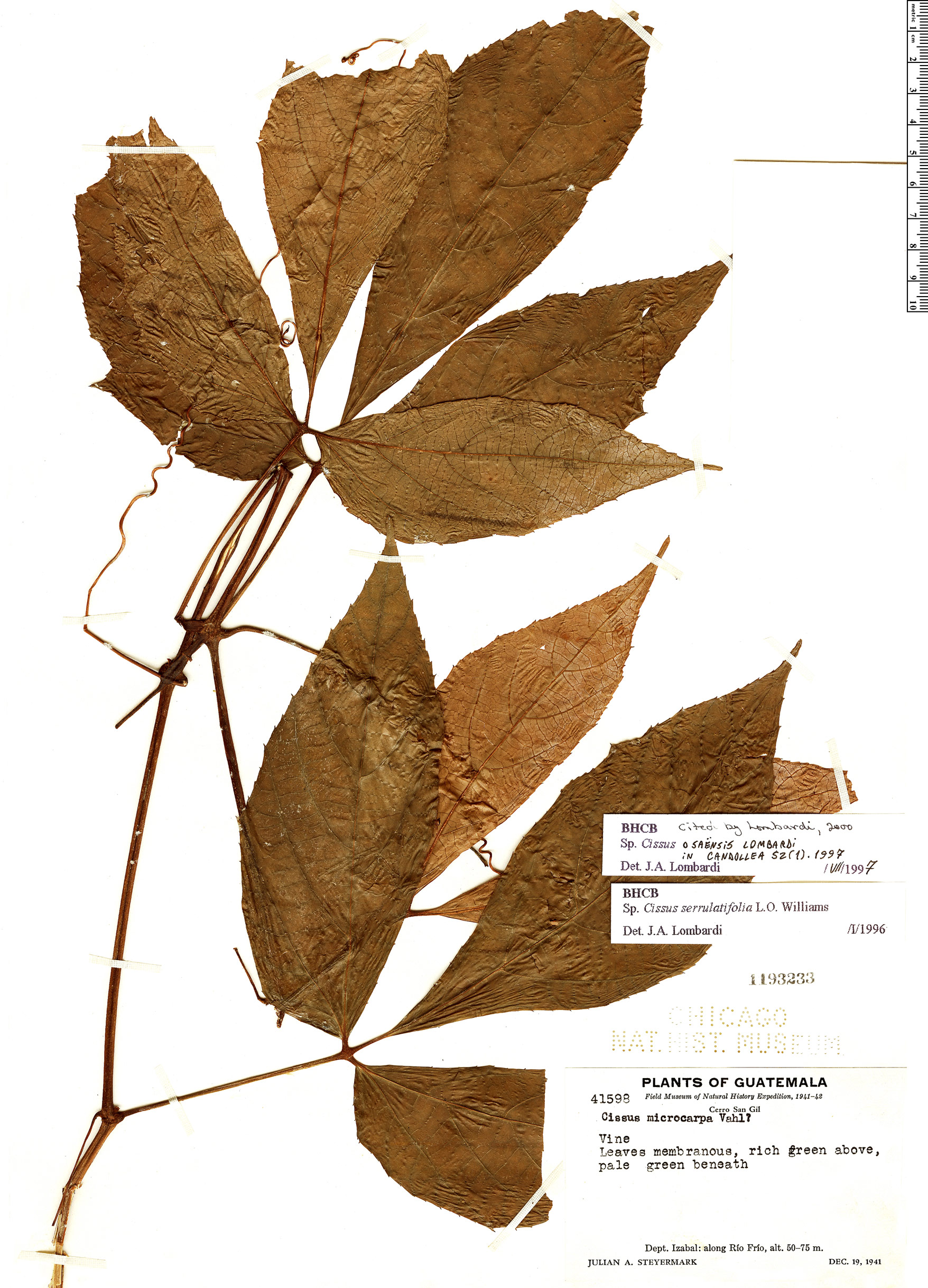 Specimen: Cissus osaensis