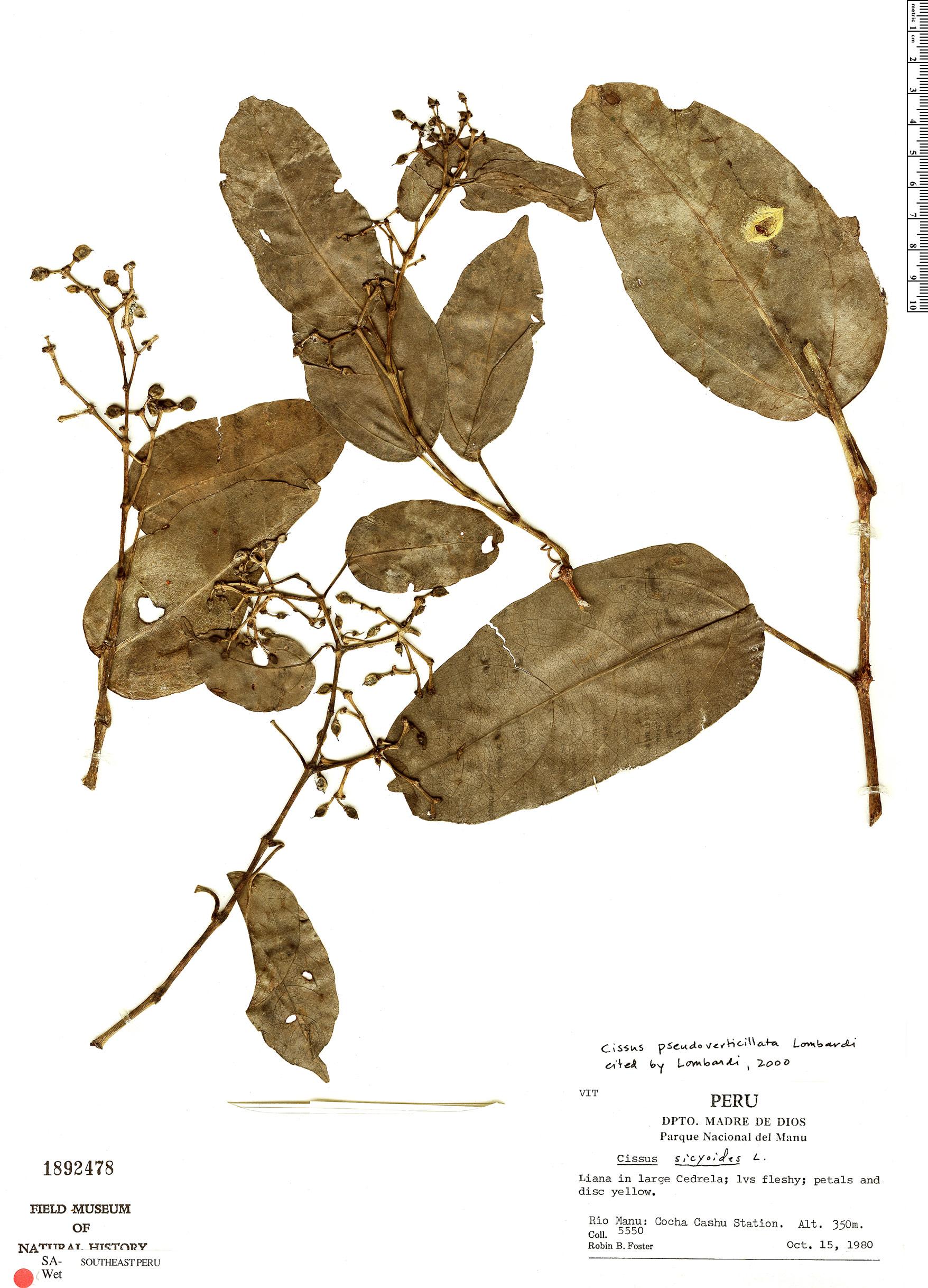 Specimen: Cissus pseudoverticillata