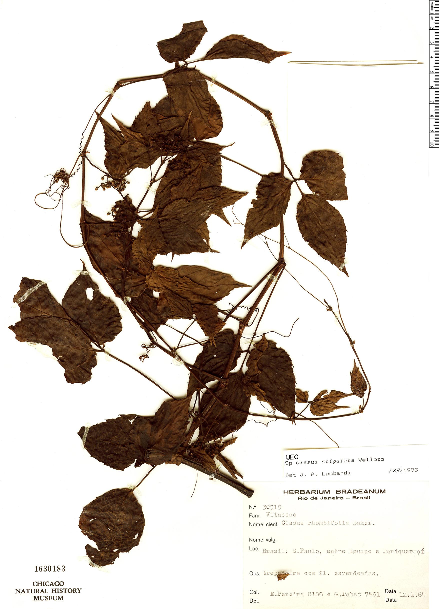 Specimen: Cissus stipulata