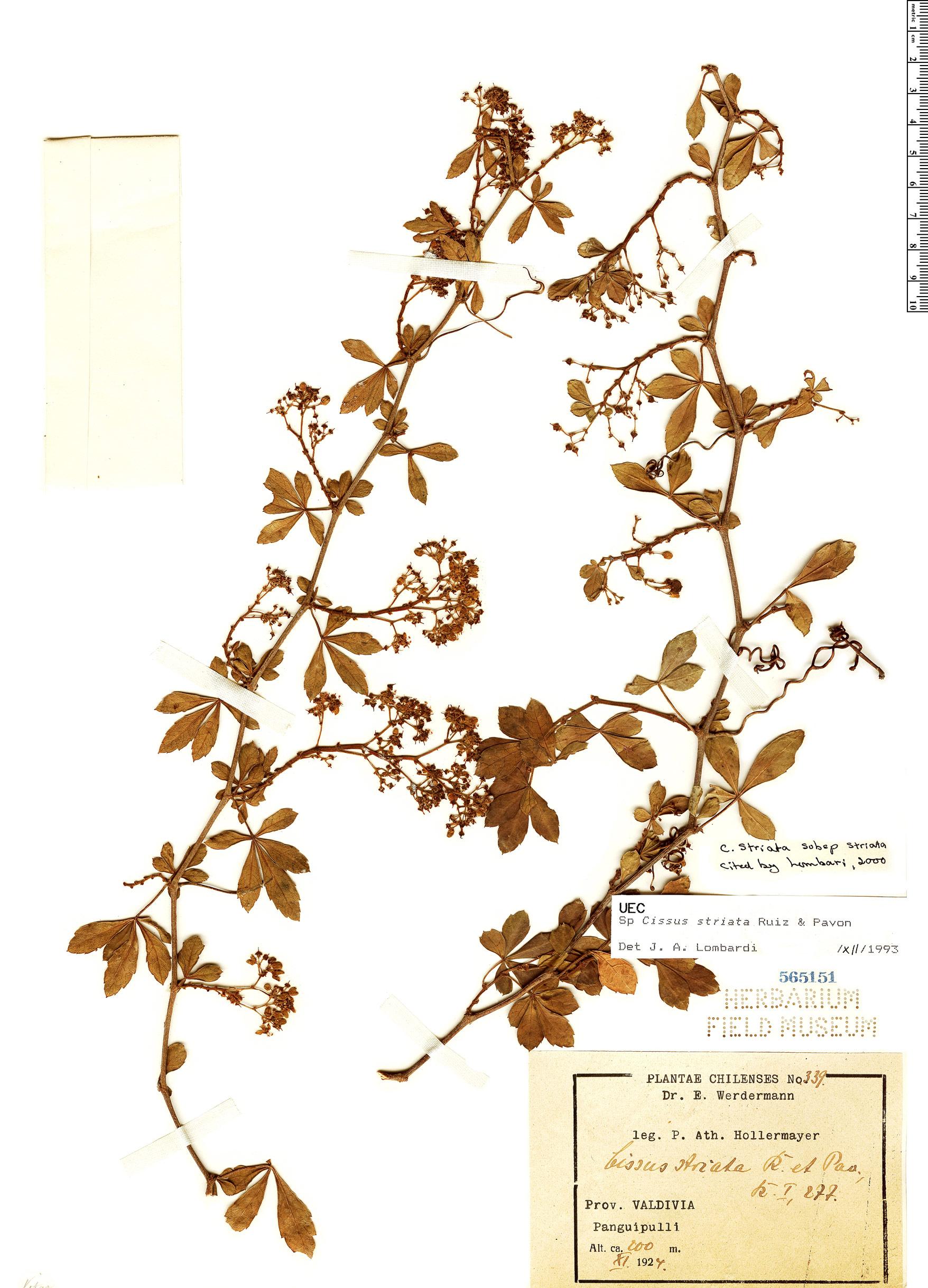Specimen: Cissus striata