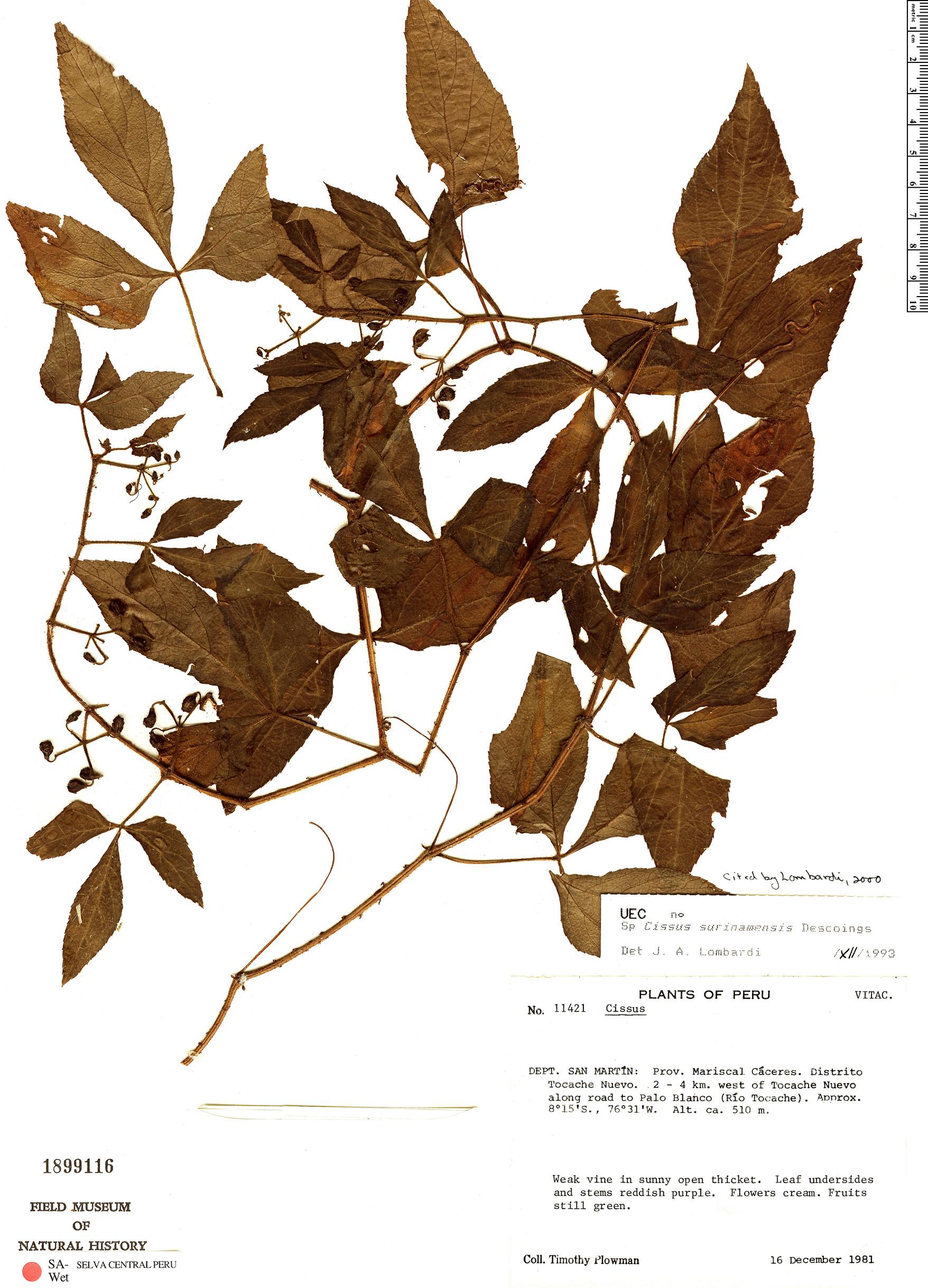 Specimen: Cissus surinamensis