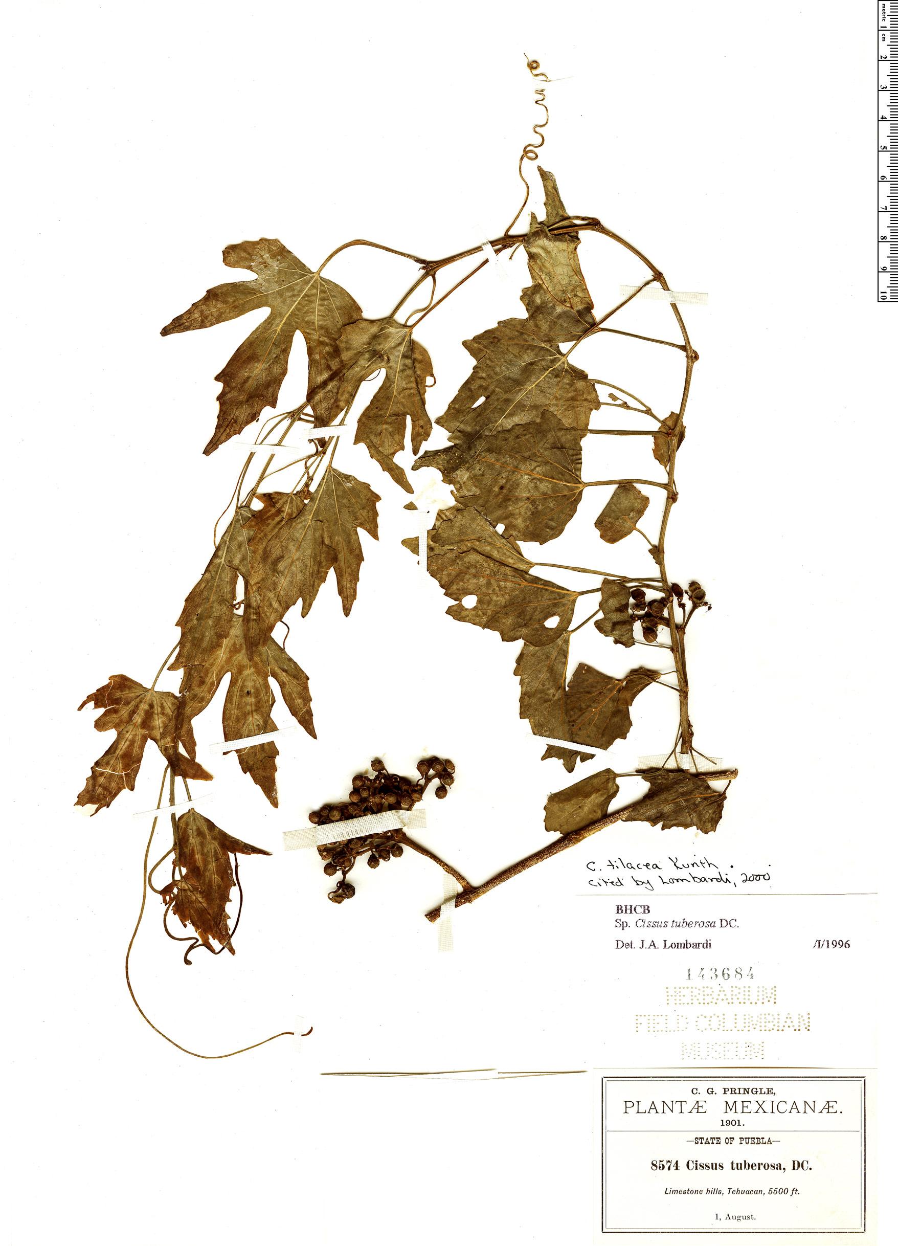Specimen: Cissus tiliacea