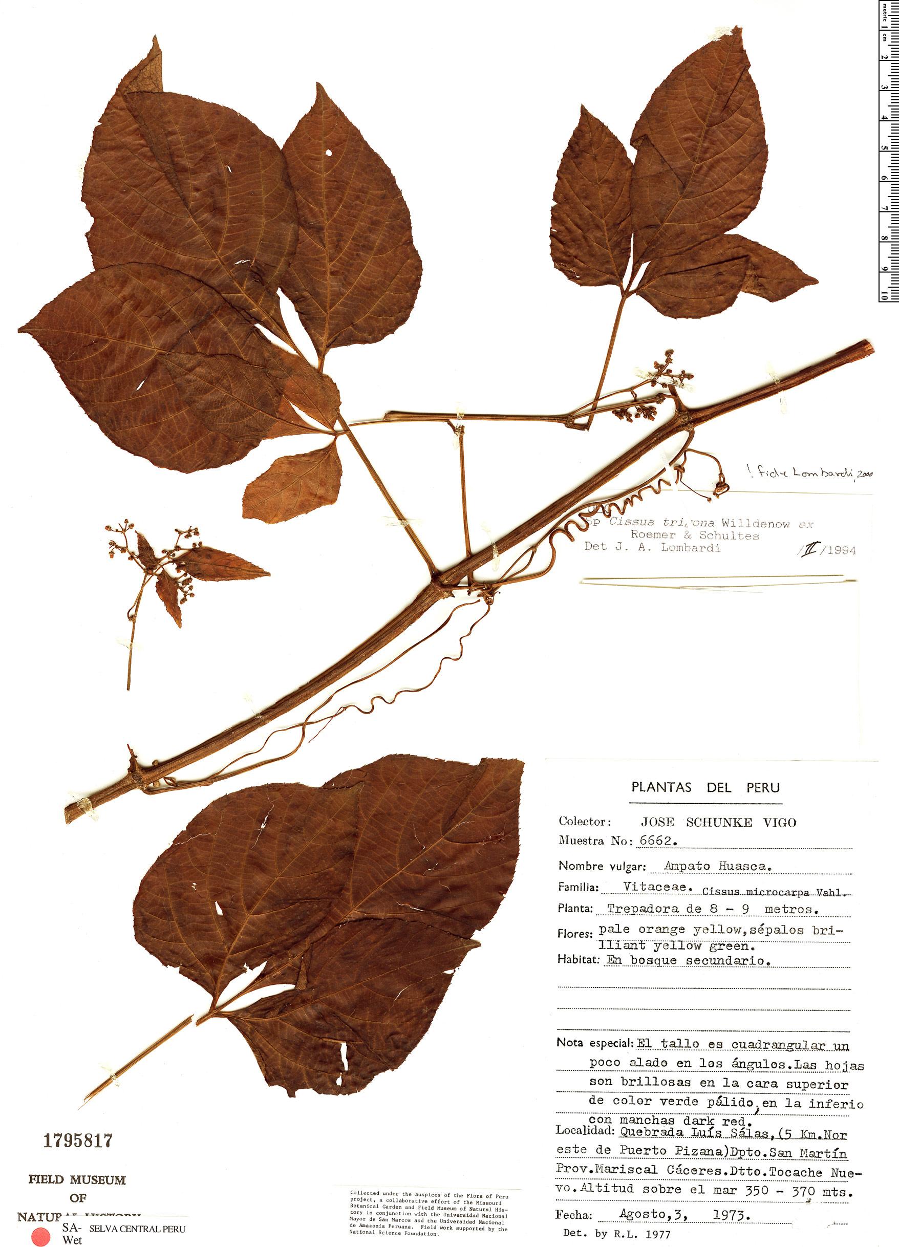 Specimen: Cissus trigona