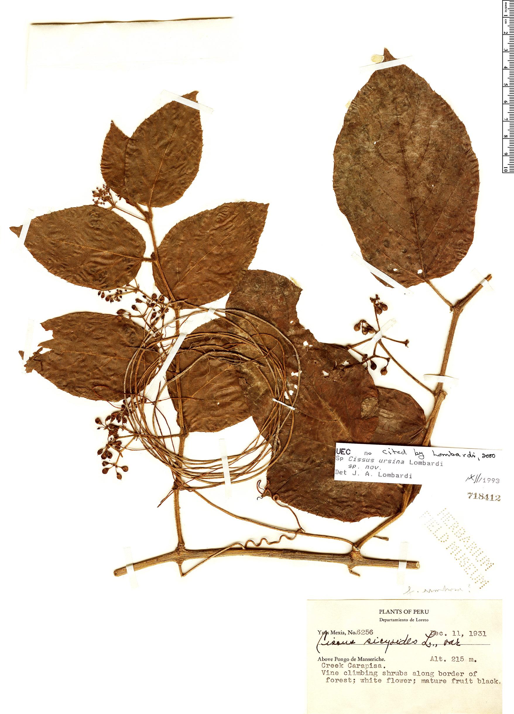Specimen: Cissus ursina