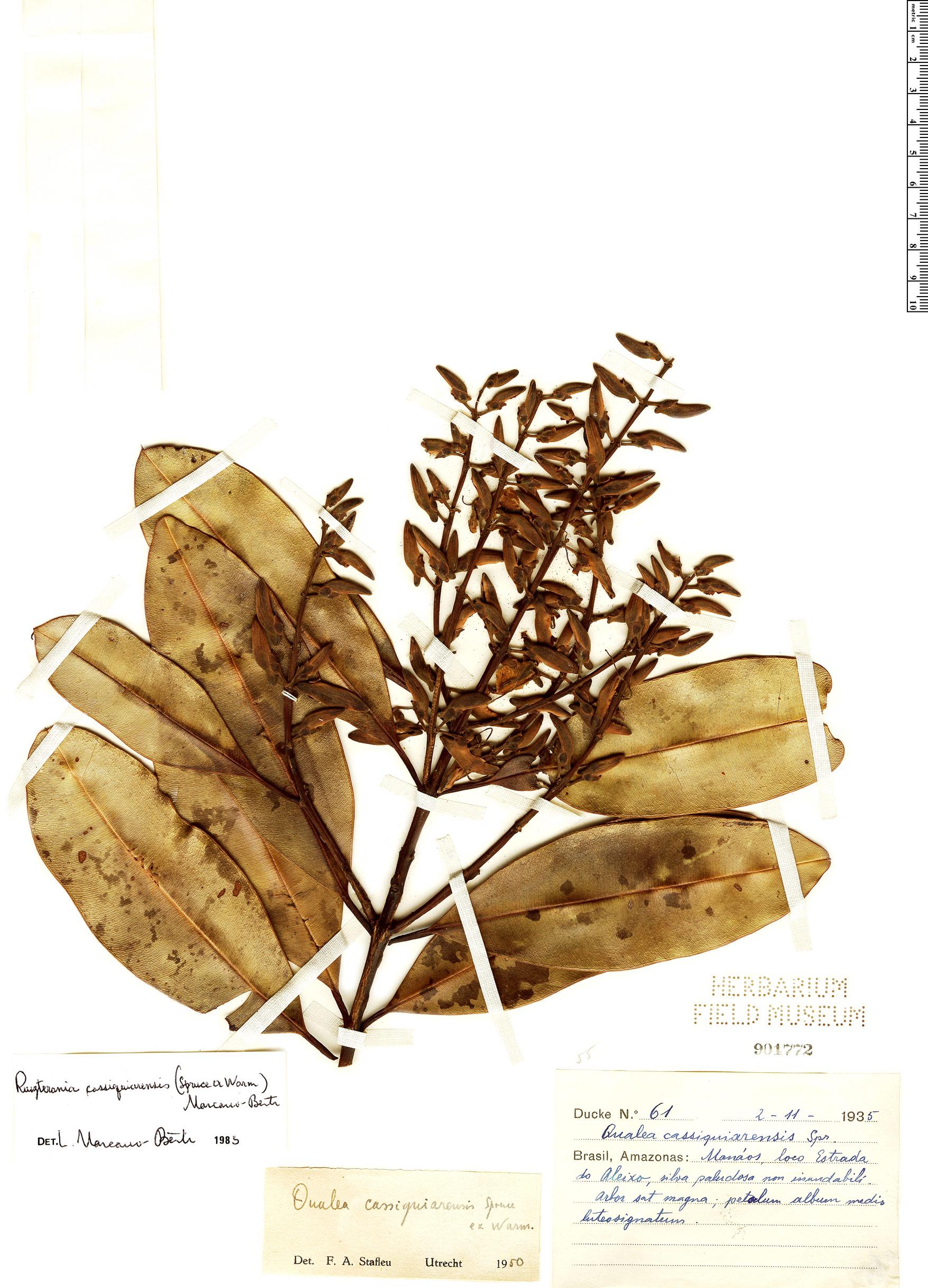 Specimen: Qualea cassiquiarensis
