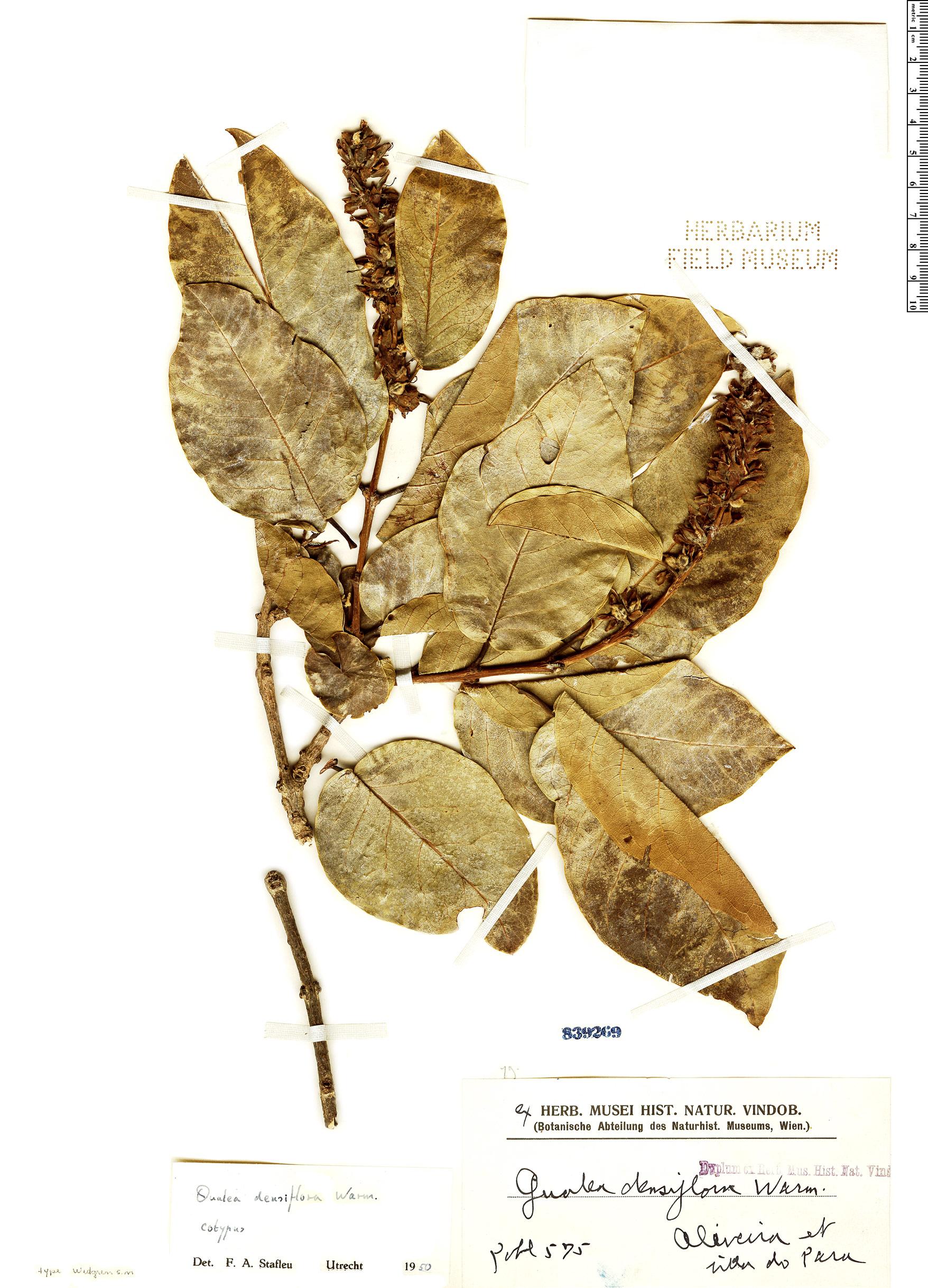 Specimen: Qualea densiflora