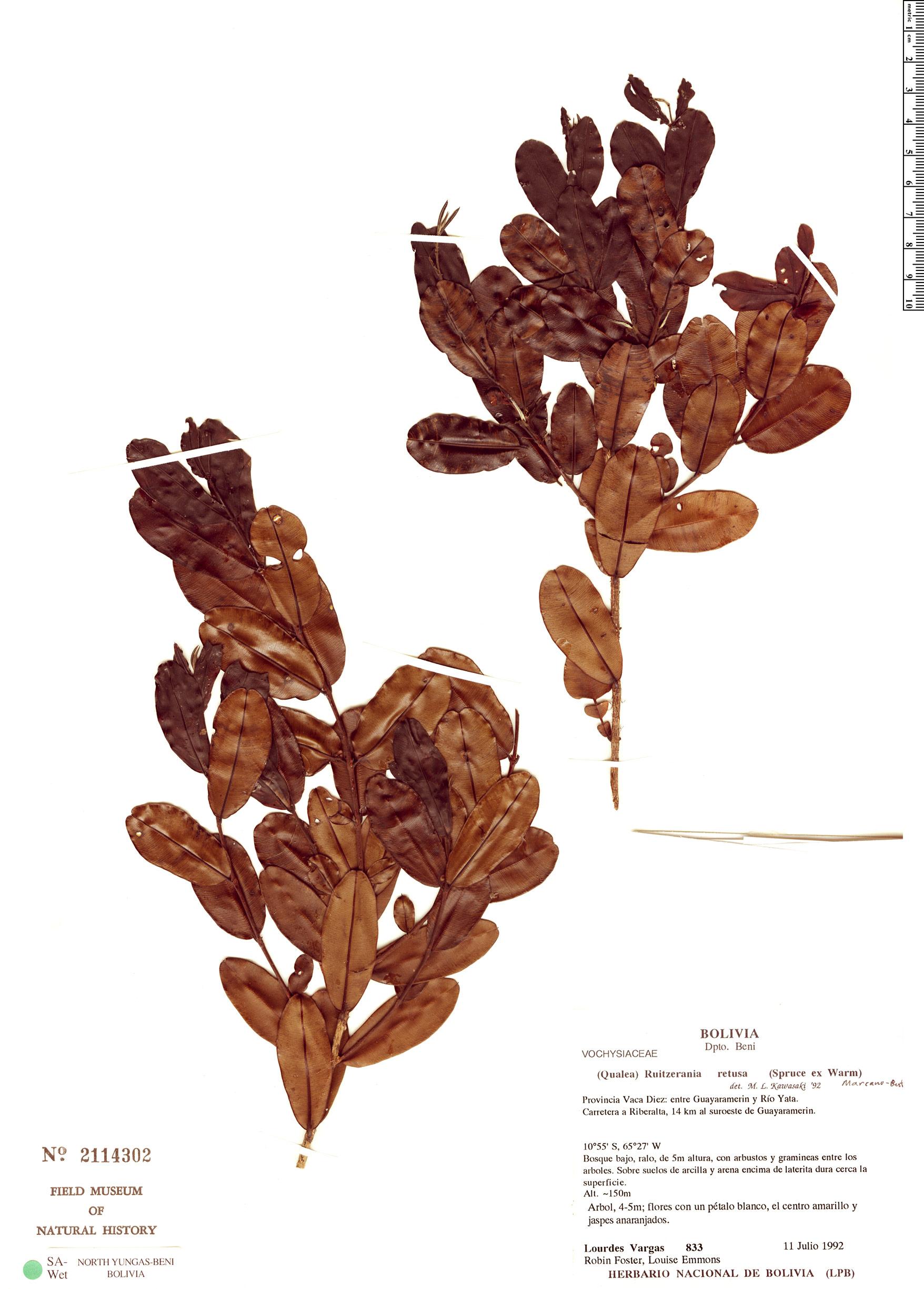 Specimen: Ruizterania retusa