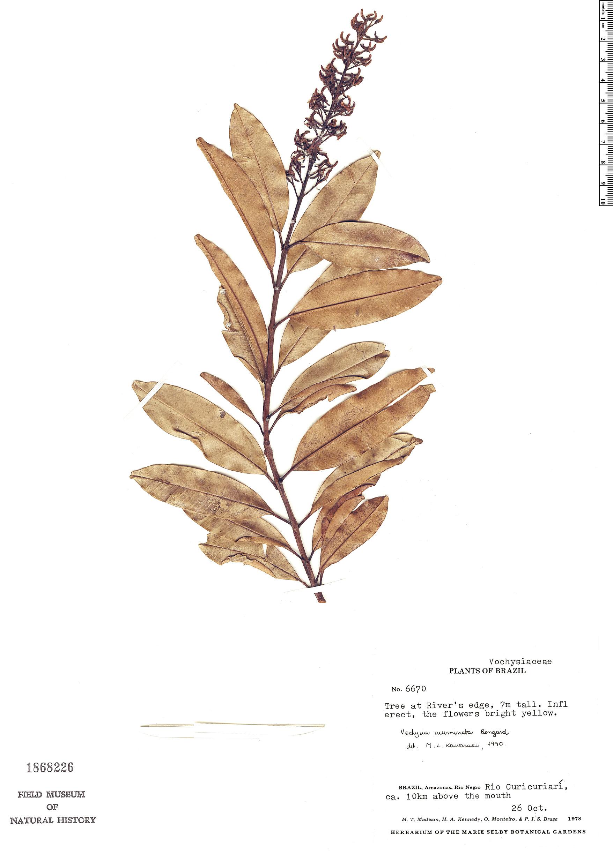Specimen: Vochysia acuminata