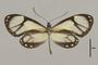 125724 Ithomia salapia derasa d IN