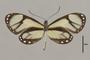 125724 Ithomia salapia derasa v IN