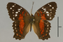 125759 Anartia amathea d IN