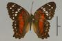 125759 Anartia amathea d IN