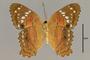 125759 Anartia amathea v IN