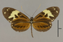 125764 Heliconius ethilla tyndarus d IN