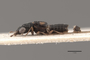 3047957 Aulacotrachelus pirimaculatus ST p IN