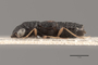 3047924 Megalops brevipennis HT p IN