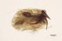 3047970 Megalopsidia punctipennis LT g IN
